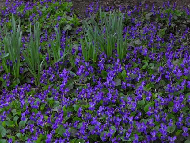 violete in padure